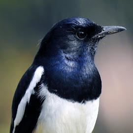 Robin  by Asif Bora - Animals Birds