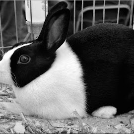 rabbit by Nic Scott - Black & White Animals ( rabbit, black and white, bunny )