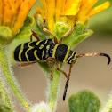 Wasp-mimic Longhorn