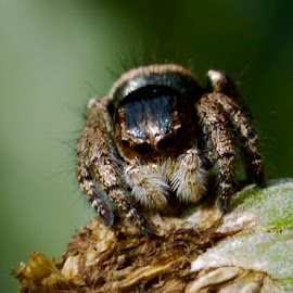 Jumping Spider by Lian van den Heever - Animals Insects & Spiders ( jumping, haire, arachnid, spider, eyes )