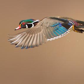 Probably the most beautiful of all duck species by Mircea Costina - Animals Birds ( bird, flight, wild, drake, wood, carolina, male, duck, wildlife, birds )