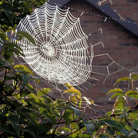 the web by Sue Rickhuss - Nature Up Close Webs
