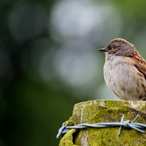 Dunnock by Mike Hawkwind - Novices Only Wildlife ( wildlife, birds, dunnock )