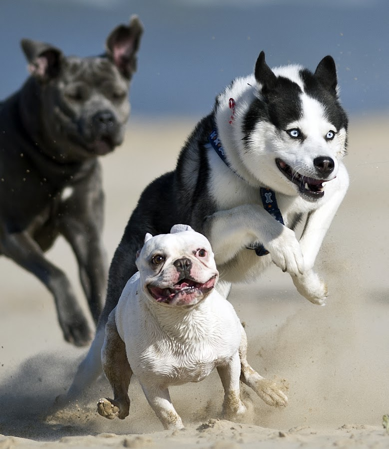 by Harold Blum - Animals - Dogs Portraits ( sand, dogs, play, animals in motion, summer, beach, pwc76, motion, running, animal )