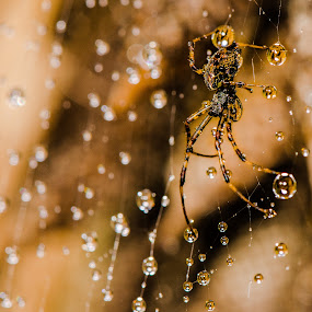 Australian spider by Laurie King - Animals Insects & Spiders ( macro, spider, waterdroplets, spider web, golden hour )