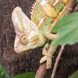 Stealth charmeleon by Paul Shufflebotham - Animals Reptiles ( animals, hidden, reptile, branches, charmeleon )