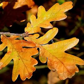 Autumn Oak by Chrissie Barrow - Nature Up Close Leaves & Grasses ( orange, nature, autumn, oak, yellow, leaves, closeup )