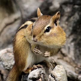 Sunday's Best 31 by Terry Saxby - Animals Other Mammals ( canada, terry, chipmunk, goderich, ontario, saxby, nancy )
