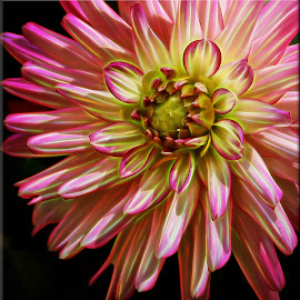 Dahlia Aglow by Millieanne T - Digital Art Things