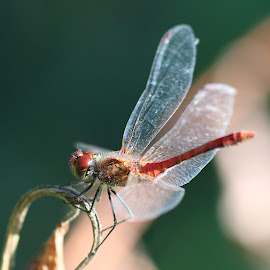 Dragonfly by Magda Sotolova - Animals Insects & Spiders