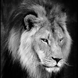 Lion by Dave Lipchen - Black & White Animals ( lion )