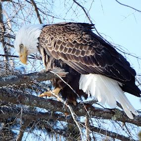 Eagle Eye by Alison Gimpel - Animals Birds ( birds of prey, minnesota, bald eagle, wildlife, landscape,  )