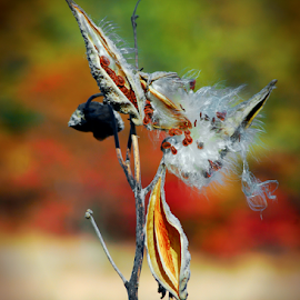Milkweed Pods Open In Autumn by Robin Amaral - Nature Up Close Other plants ( nature, seeds, natural light, nature up close, flora, autumn colors, beauty in nature, focus photography, common milkweed, seed pod, milkweed floss, milkweed, organic )