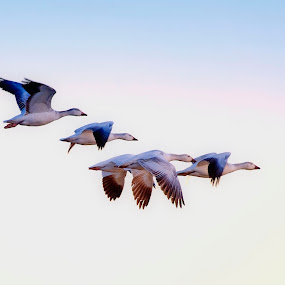 Snow Geese Migration 2 by Cody Hoagland - Animals Birds