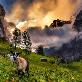 Swiss Sunrise by Jerry Kambeitz - Landscapes Sunsets & Sunrises ( clouds, mountains, switzerland, sheep, sunrise )