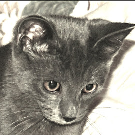 Jace by Danielle Cagle - Animals - Cats Portraits