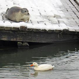 The Odd Couple by Alick Tsui - Animals Sea Creatures ( quidi vidi, newfoundland, seal, duck, st john's, winter tranquility, quidi vidi village, slipway, beard seal,  )