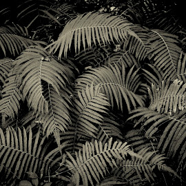 Ferns by Jim Oakes - Flowers Flowers in the Wild ( fern, plant, wild, black and white, day )
