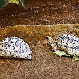 Turtles in zoo by Suresh K Srivastava - Animals Amphibians ( zoo, nature photography, turtles, amphibians, animal )