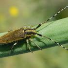 Agapanthia flat-faced longhorn beetle