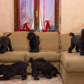too many poodles by Giovanni De Bellis - Animals - Dogs Puppies ( playing, puppies, poodle, dog, black )