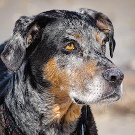 Catahoula by Dave Lipchen - Animals - Dogs Portraits ( catahoula )