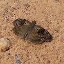 Marbled Duskywing