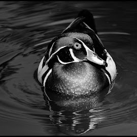 Wood Duck by Dave Lipchen - Black & White Animals ( wood duck )