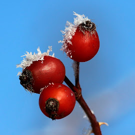 Rosehip by Claudiu Petrisor - Food & Drink Fruits & Vegetables ( blue sky, red, ice, rosehip, frozen )