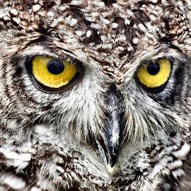Got my eye on you by Sue Bernhard - Smith - Animals Birds ( bird of prey, owl, raptor )