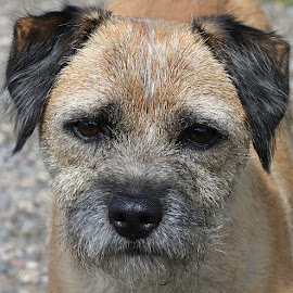 Jack by Chrissie Barrow - Animals - Dogs Portraits ( pet, male, fur, ears, fawn, border terrier, dog, nose, cream, black, portrait, eyes )