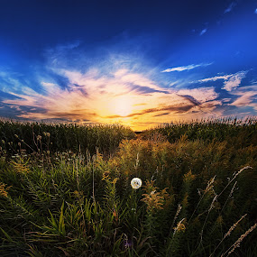 Determined by Sushmita Sadhukhan - Landscapes Prairies, Meadows & Fields ( field, dandelion, grass, sunset, glow, evening, sun )