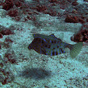 Thornback cowfish