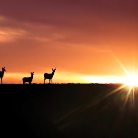 Deer at Sunset  by Amanda  Castleman  - Animals Other Mammals ( animals, nature, sunset, silhouettes, sun, deer,  )