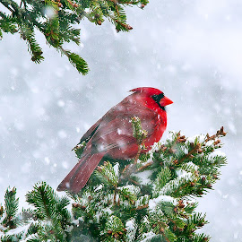 Grandma Bird by Peggy Zinn - Animals Birds ( winter, birds, cardinals )