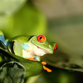 Hello by Gérard CHATENET - Animals Amphibians