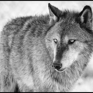 Gray Wolf-24.jpg
