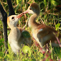 Sandhill Crane (chicks)