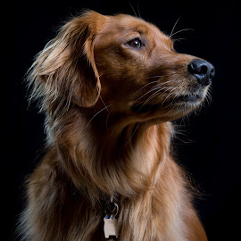 Profile by Mark Tart - Animals - Dogs Portraits ( studio lighting, dogs, pets, portrait, photography,  )
