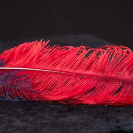 Feather by Monika Sedláčková - Novices Only Objects & Still Life ( red, blue, feather )
