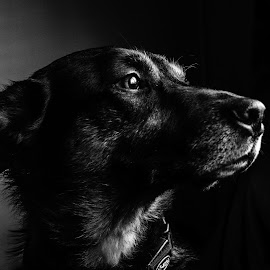 Our Jack, King of Dogs! by Stevie Toye - Animals - Dogs Portraits ( black and white, pet, dog, light, portrait )