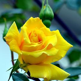 by Ioan Trifu - Flowers Single Flower