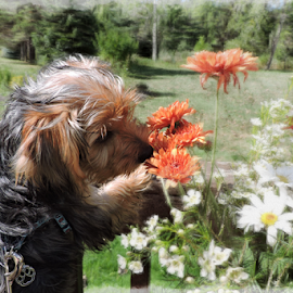 Yorkie daisies by Melissa Davis - Animals - Dogs Puppies ( smell, yorkie, daisies, puppy, flowers,  )