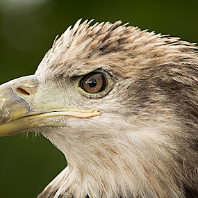Youngster by Vonda Higgins - Animals Birds ( bird, eagle, raptor )