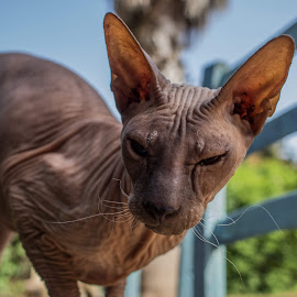 Very ugly Cat by Maya Bar - Animals - Cats Portraits ( sphynx, cat,  )