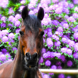 I'm ready for my close-up...  by Campbell McCubbin - Animals Horses ( horse, rhododendron, purple, chestnut, stallion )