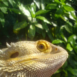 look at me by Redski Pictures - Animals Reptiles ( green, bearddragon, reptile, eye, animal )