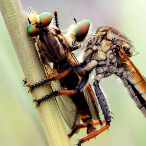 Robber vs Robber by Roem Hasadi - Animals Insects & Spiders ( macro, indonesia, batam )