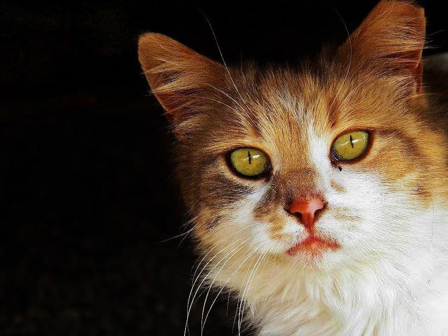 by Rachel Graham - Animals - Cats Portraits