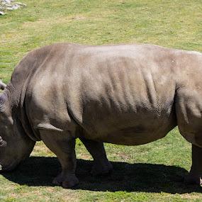 Rhino by Mi Mundo - Animals Other Mammals ( rhino )